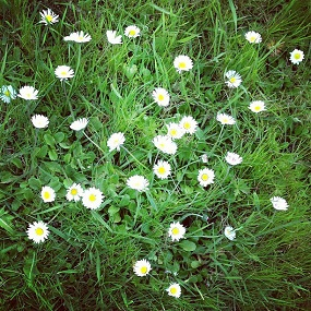 photo Instagram fleurs paquerettes