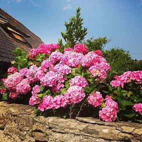 Île de Groix fleurs hortensias