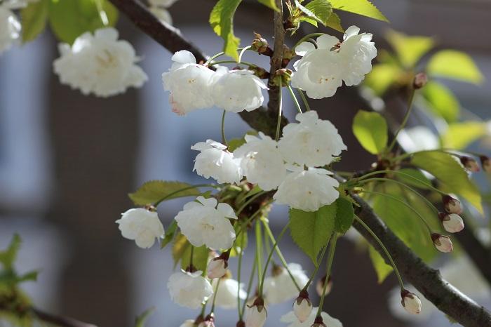 cerisiers en fleurs à Londres
