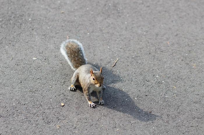 écureuil Hyde Park Londres
